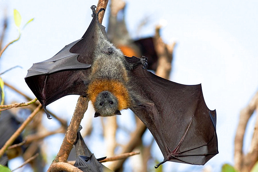 Australian Flying Fox Hands A Grey Headed Flying Fox
